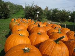 Pumpkin Patches Maryland Heights Mo by New Chesterfield Pumpkin Patch Readies For Season Cbs St Louis