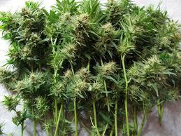recolte cannabis exterieur date comment récolter des plantes de cannabis sensi seeds