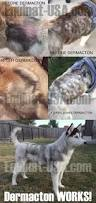 Excessive Hair Shedding In Dogs by Neko U0027s Update With Dermacton Itchy Dogs With Red Sore Skin