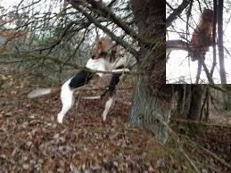 Do Treeing Walker Coonhounds Shed by Sharp Tooth Kennels Treeing Walker Coonhounds Artemas Pa