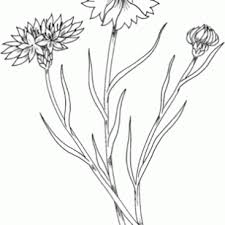 Hand Drawn Cornflowers Coloring Pages