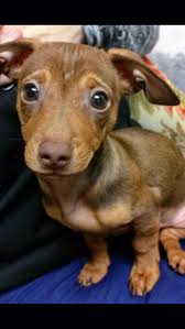Do Pocket Puggles Shed by Get 20 Dachshund Mix Ideas On Pinterest Without Signing Up