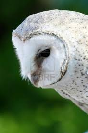 97 Best Owl Images On Pinterest | Barn Owls, Owl Photos And ... Owls Loft Barn Owl Projects Warren Photographic Owls Snowy Saw Whets Watching Out For Part 1 The Official Blog The Molly Corfield Habichatter Twitter Australian Masked Owl Tyto Novhollandiae Birdsstrigiformes Tonys Desk Innovative Ipdent Informed Blog Natureslens By Jaewoon U On 500px Spirito Barbagianni Crafts Mobile Trust Injured Barn Rescued Wildlife Friends Foundation Thailand 13 Best Images Pinterest Cotswolds