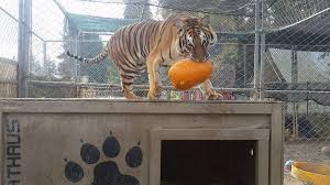 Canby Pumpkin Patch by Washington County Cites Animal Exhibitor U201ca Walk On The Wild Side