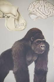 Gorilla Anatomy Chart Bring It Home