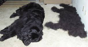 Dogs That Shed Less Hair by Control Shedding In Dogs I U0027m In Review Of The New Earthbath Shed
