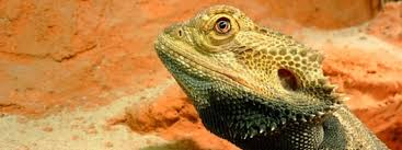 Bearded Dragon Heat Lamp Went Out by Heating A Bearded Dragon Habitat How To Heat A Bearded Dragon Tank