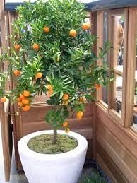 best 25 citrus trees ideas on kumquat tree how to