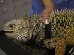 Bearded Dragon Shedding Nostrils by Clinical Approach To Dermatologic Disease In Exotic Animals