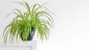 ungiftige zimmerpflanzen unschädliche pflanzen fürs