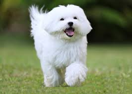 Non Shedding Dog Breeds Small by 5 Of The Best Small White Dog Breeds Practical Paw The Dog