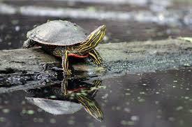 turtle shell peeling turtleholic
