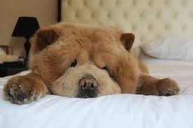 Does Akita Shed A Lot by How Bad Do Chow Chows Shed Advice From Real Chow Chow Owners