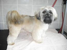lhasa apso puppy shedding 140 best lhasa apso images on lhasa apso and