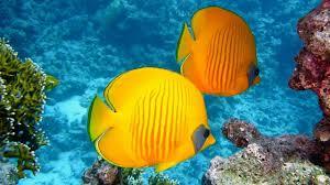Beautiful Fish Wallpaper Beautiful Tropical Fish Wallpaper