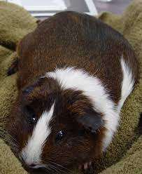 Pine Bedding For Guinea Pigs by Guinea Pig Care Chicago Exotics Animal Hospital