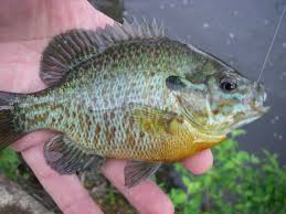 Pumpkin Seed Sunfish Pictures by Sunfish Hybrids Freshwater Fishing Forum Surftalk