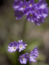 Violet Wood Sorrel Flowers Oxalis Violacea Eastern North America