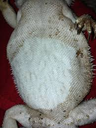 Bearded Dragon Shedding Behavior by New To Site Need Advice On Skin Issues U2022 Bearded Dragon Org