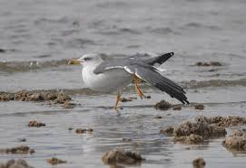 Hybrid No This Lesser Black Backed Gull Is As Pure Uncut Colombian Cocaine Bird Was Photographed On December 26 Basking The Northern Shores Of