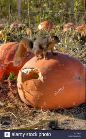 Pumpkin Patch Littleton Co by Western Fox Squirrel Has Become Alert On A Pumpkin That He Has