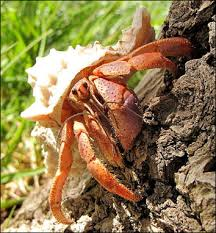 Do Hermit Crabs Shed Their Legs by Crabs Horshoe Crabs Hermit Crabs Copepods And Sea Spiders