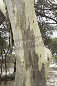 fototapete detail der stamm und rinde muster eines australischen eukalyptus baum
