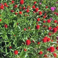 Organic Pumpkin Seeds Australia by Australian Seed Gomphrena Strawberry Fields