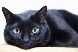 bombay cats bombay cat purrfect cat breeds
