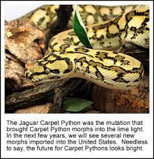 Coastal Carpet Python Facts by Jungle Jaguar Carpet Python Size U2013 Meze Blog