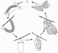 Coloring Picture Of Butterfly Life Cycle