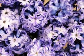 when can you plant a hyacinth bulb that you buy in the