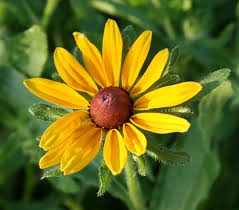 A Yellow Wildflower That Is Just Now Coming Into Bloom Are My Stalwart Black Eyed Susans Rudbeckia Hirta Self Seed Through Back Patio Bed And
