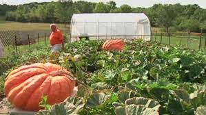 Heaviest Pumpkin Ever by N S Man Sets Local Record At Giant Pumpkin Weigh In Ctv