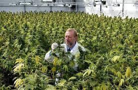 gras als medizin patient darf cannabis selbst anbauen