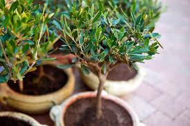 pot pour olivier choix et culture ooreka