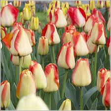 american tulip bulbs for sale buy tulip bulbs below