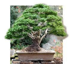 pot bonsai grande taille walter pall bonsai adventures arbres de pépinières pour grands