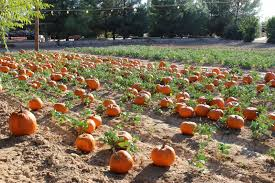 Pumpkin Patches In Phoenix Az 2013 by Newlywed Diaries October 2013