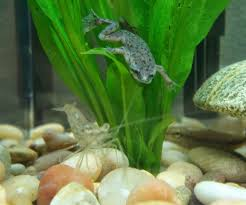Should African Dwarf Frogs Shed by Tips For An African Dwarf Frog Just Got Two And We Love Them As