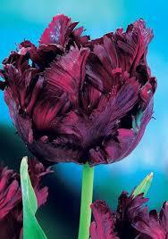 black parrot bulbs tulips bulbs black parrot buy tulips flower