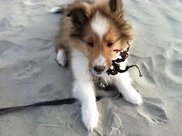 Cute Sheltie puppy on the beach