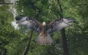 100 Gamekeepers Unfair Game Why Are Britains Birds Of Prey Being Killed