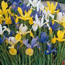 iris bulbs summer sky mix