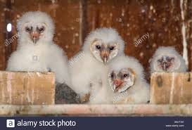 Oakland, Oregon, USA. 1st May, 2016. A Family Of Wild Week-old ... Barn Owl Box Company Wildlife San Francisco Forest Alliance Food Lodging Owls See A Housing Boom In Walla Washington Audubon Best 25 Owls Ideas On Pinterest Beautiful Owl And Utah Nest Box 2 Youtube There Is Always One That Ruins Family Picture Trio Family Ties Chicks Let Their Hungry Siblings Eat First Texas 2017 Update All About Birds Bring Up Baby How Barn Do It Help Clean Up Rodents Naturally Green Blog Anr Blogs