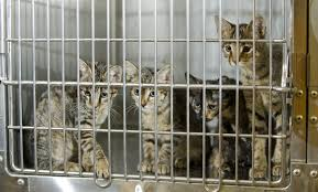 adopt a cat adopt a cat month american humane