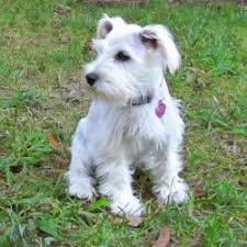 List Of Non Shedding Hypoallergenic Dogs by List Of Dog Breeds That Are Hypoallergenic Breed Dogs Picture