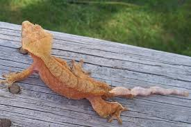 Crested Gecko Shedding Signs by A Rock In The Desert How To Keep Your Crested Gecko Healthy