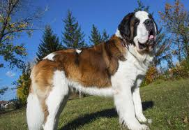 Do Short Haired Saint Bernards Shed by Exclusive Information About Saint Bernard Dogs The Gentle Giants