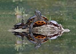 northern map turtle and midland painted turtles basking on a log